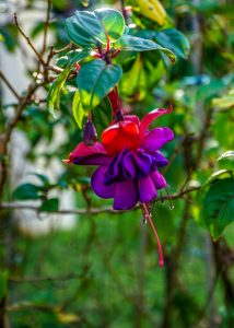 Fuscia at Vacy House