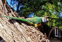 Birdlife at Olive Pink Gardens
