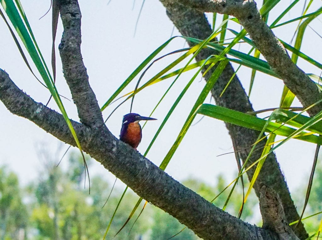 Azure Kingfisher at Corroboree Billabong